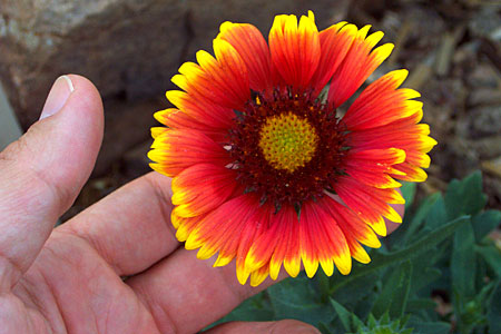 blanket flower, santa fe, new mexico, july 15, 2003.