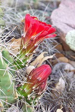 claret cup cactus, blooming (i think).