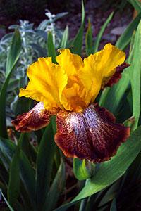 iris, santa fe, new mexico, may 22, 2003.