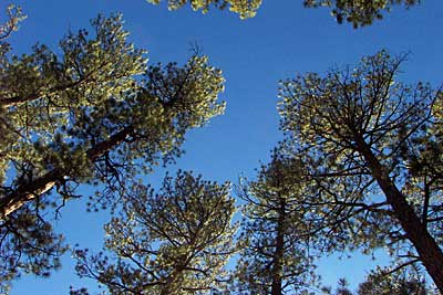 tall pines, jemez mountains, new mexico, march 30, 2003.