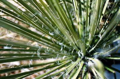 favorite yucca shot.