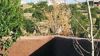 quail on courtyard wall.
