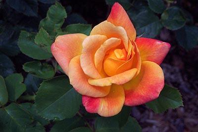 rose, back courtyard.