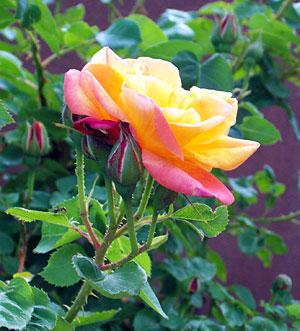 rose, may 30.