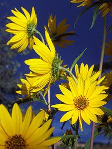 sunflowers, september 2002.